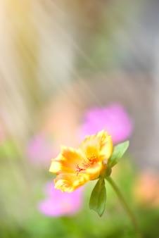 一般的なスベリヒユ、verdolaga、pigweed、little hogweed、pusley美しい花