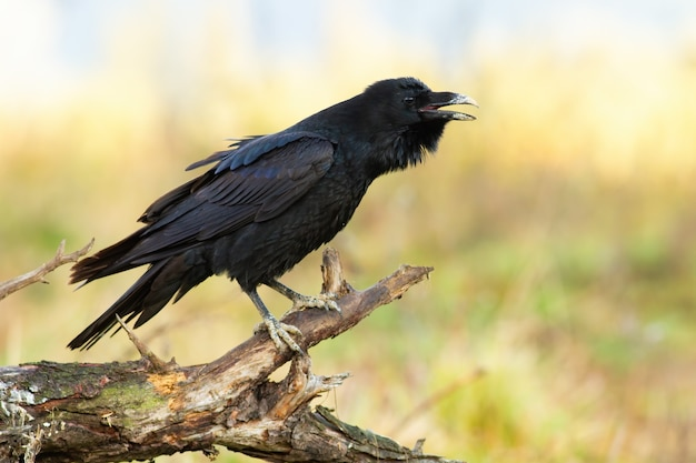 Common raven calling on wood in springtime nature
