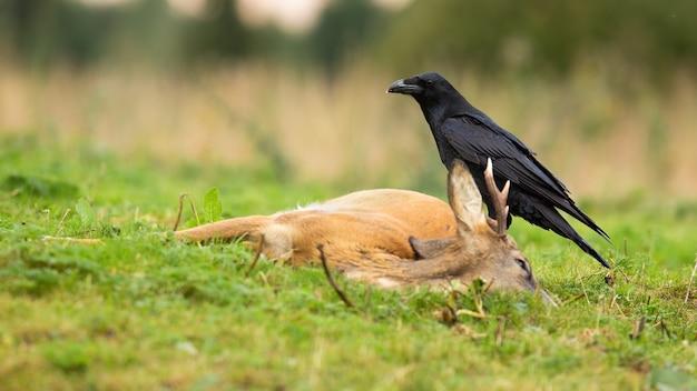 Обыкновенный ворон, питающийся мертвым оленем косули в осенней природе