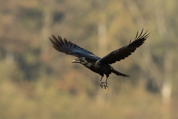 Common raven flying in autumn nature with blurred background