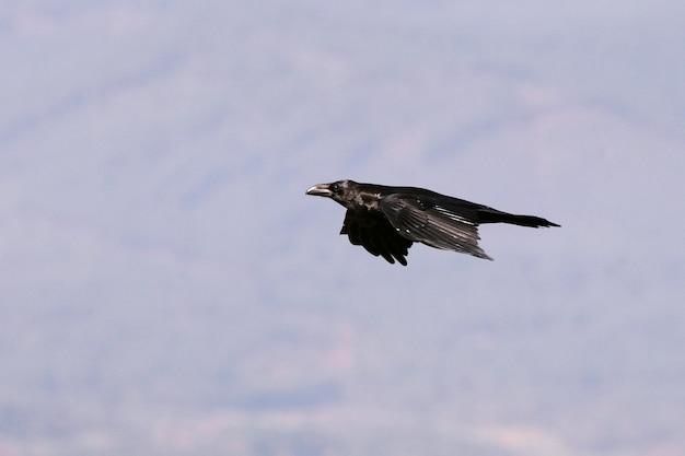 Обыкновенный ворон, летящий с первыми огнями солнечного дня