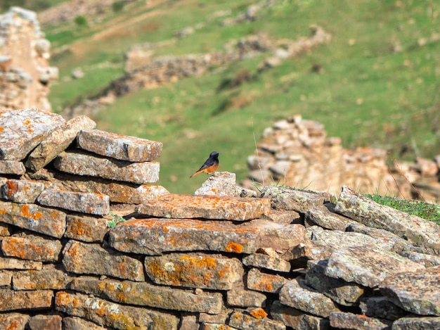 シロビタイジョウビタキ(phoenicurus phoenicurus)、古い石の壁にいるオス。ダゲスタン。