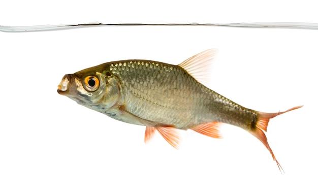 물 라인에서 일반적인 바퀴벌레 수영, 입 벌리고, rutilus rutilus, 흰색 절연