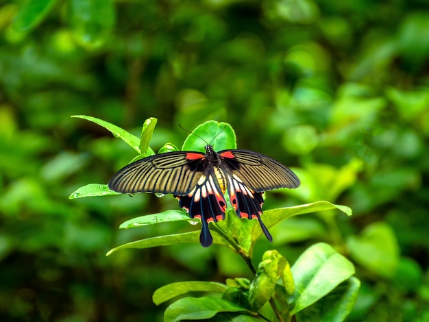 Common rose (pachliopta aristolochiae goniopeltis) butterfly perching on green leaf at asia.