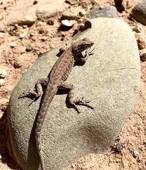 Common sage lizard on the stone