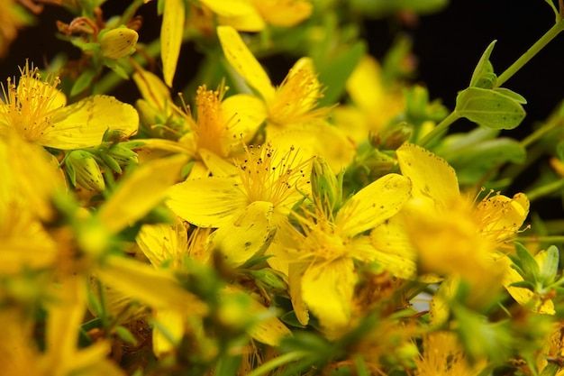 Common saint johns wort plant flowers