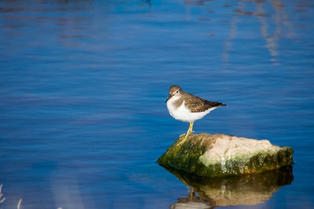Un comune uccello del piovanello, becco lungo marrone e bianco, appoggiato su una roccia in acqua salmastra a malta