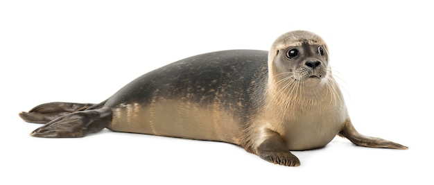 Common seal lying, looking away, phoca vitulina, isolated on white