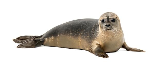 Обыкновенный тюлень лежа, phoca vitulina, изолированные на белом