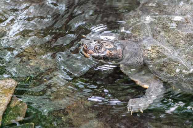 Tartaruga azzannatrice comune in un lago circondato da rocce e foglie sotto la luce del sole durante il giorno