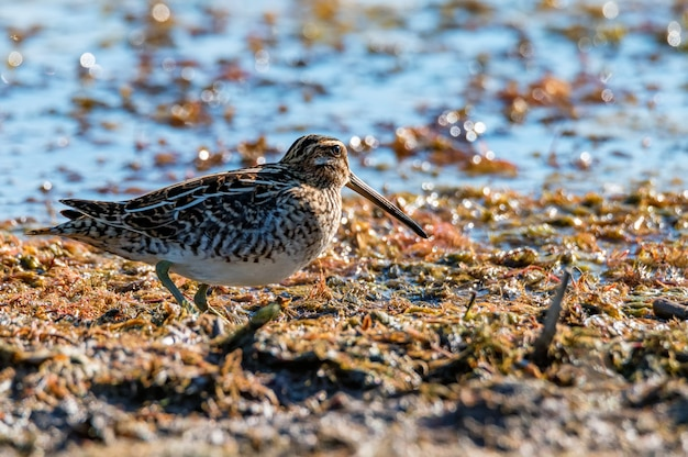 Common snipe or gallinago gallinago standing by the river. selective focus.