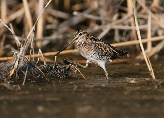 A common snipe is grazed in a shallow pond in the rays of the morning sun