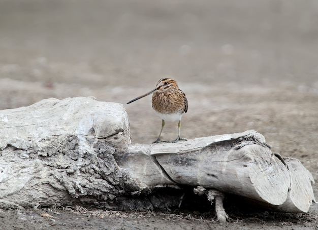 Common snipe stands on the log