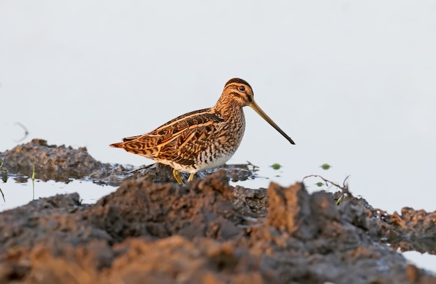 Common snipe stands on a shore in soft morning light