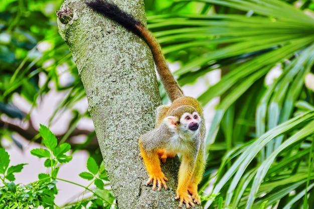 Обыкновенная белковая обезьяна в естественной среде обитания в дикой природе.