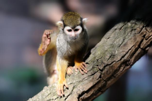 Обыкновенная белка-обезьяна