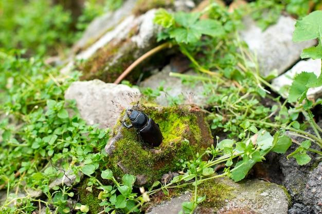 Самка жука-оленя (lucanus cervus) в естественной среде обитания