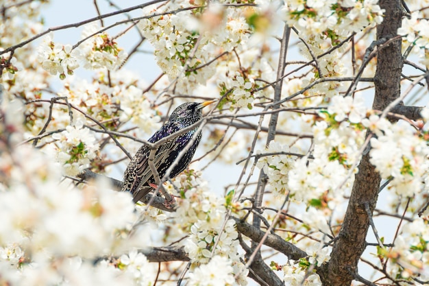 Common starling sits on blooming tree.