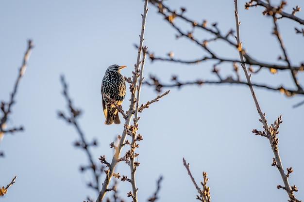 木の上に座っている一般的なムクドリ