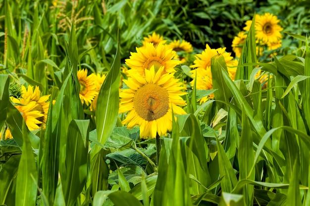 夏のヒマワリの花序の農地のクローズアップに黄色の花びらを持つ一般的なヒマワリ