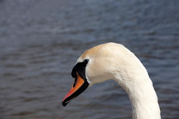 白い羽を持つ一般的な白鳥、湖の春の白い白鳥、春または夏の季節の湖の水鳥の白鳥