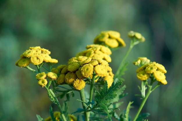 Common tansy blooming