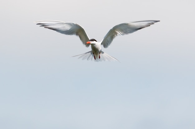 Common tern hovering in the air with wings wide spread looking for fish