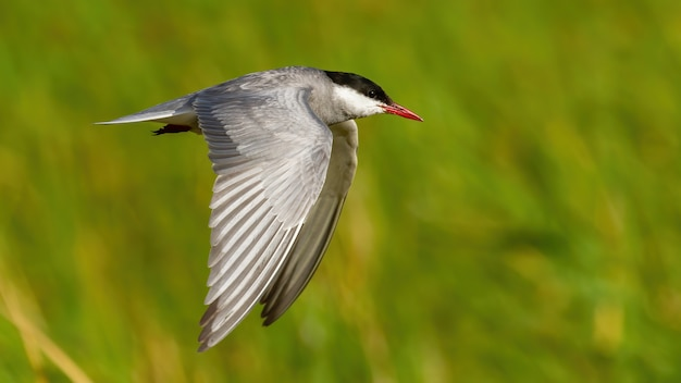 Обыкновенная крачка в полете по водно-болотным угодьям в летней природе