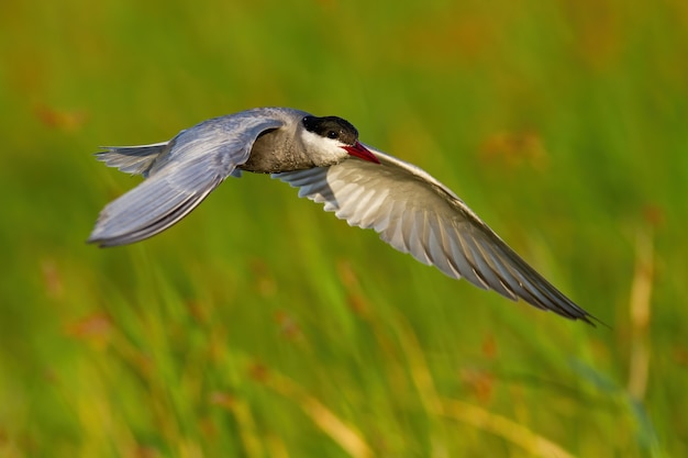 Common tern landing in wetland in sunny summer nature