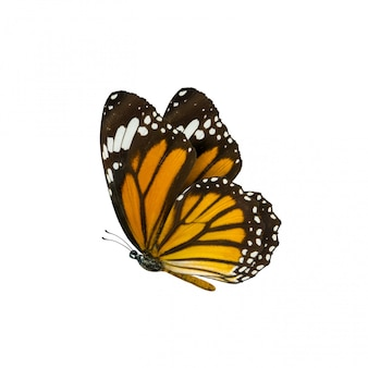일반적인 호랑이 나비
