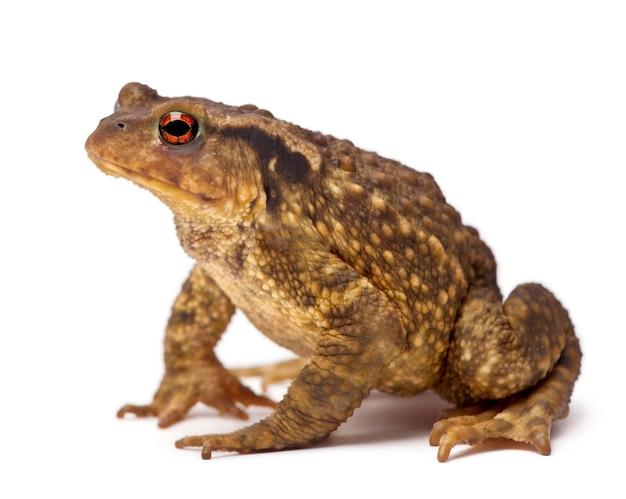 Обыкновенная жаба, bufo bufo, на белом фоне Premium Фотографии