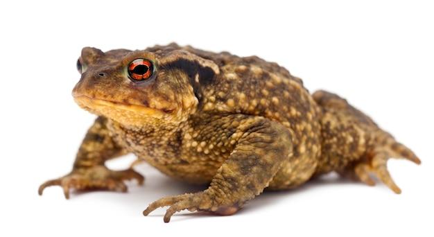 일반적인 두꺼비 bufo bufo 절연