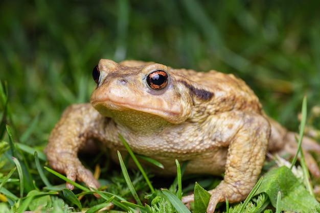 일반적인 두꺼비, bufo spinosus. 두꺼비.