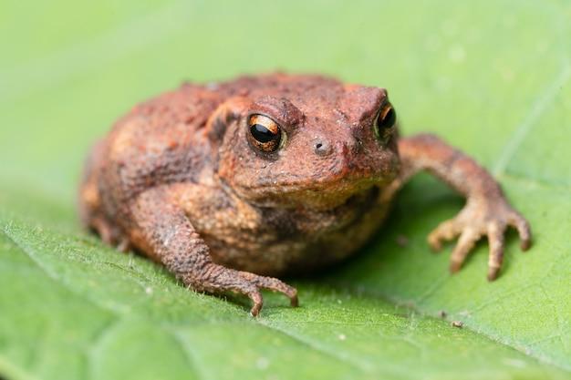 Bufo spinosus red toad라고 불리는 일반적인 두꺼비.
