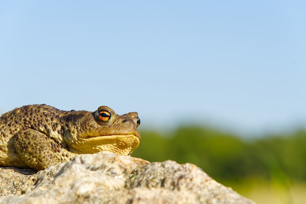 Common toad sitting on granit stone, bufo bufo close-up.