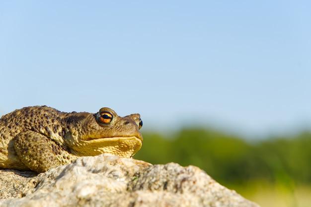 花崗岩の石の上に座っている一般的なヒキガエル、bufo bufoのクローズアップ。