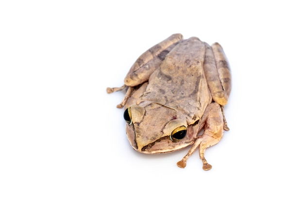 Common tree frog, four-lined tree frog, golden tree frog, (polypedates leucomystax). animal. amphibians.