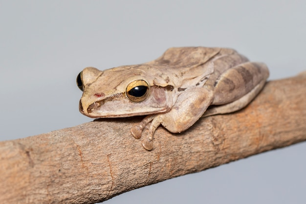 Common tree frog, four-lined tree frog, golden tree frog, (polypedates leucomystax) on a branch. animal. amphibians.