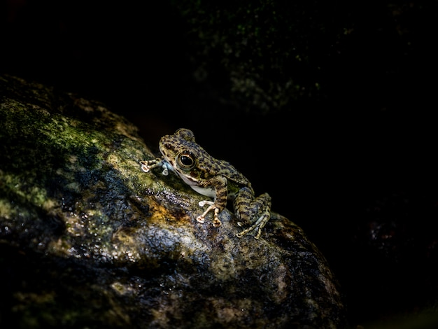 Common tree frog or golden tree frog on rock near mountain stream creek water flowing in a forest.