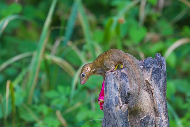Common treeshrew or southern treeshrew (tupaia glis) in forest of thailand