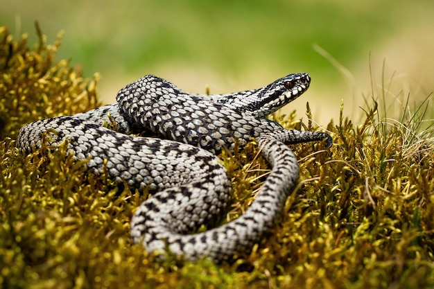 Common viper basking twisted on green moss in summer nature