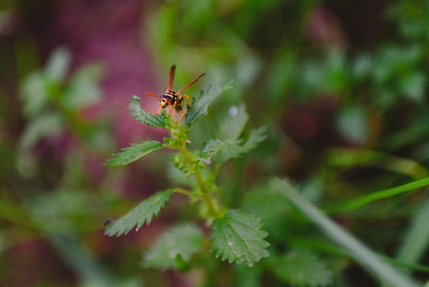 Common wasp, dolichovespula, perched on a branch of nettle.