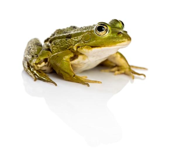 흰색 표면 앞 일반적인 물 개구리