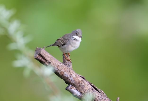 깃털 번식에있는 일반적인 whitethroat (curruca communis)는 나뭇 가지에 앉아