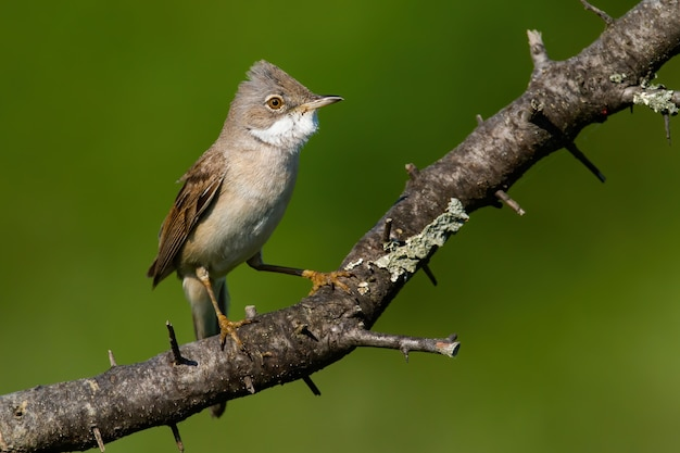 Common whitethroat sitting on branch in sunny summer