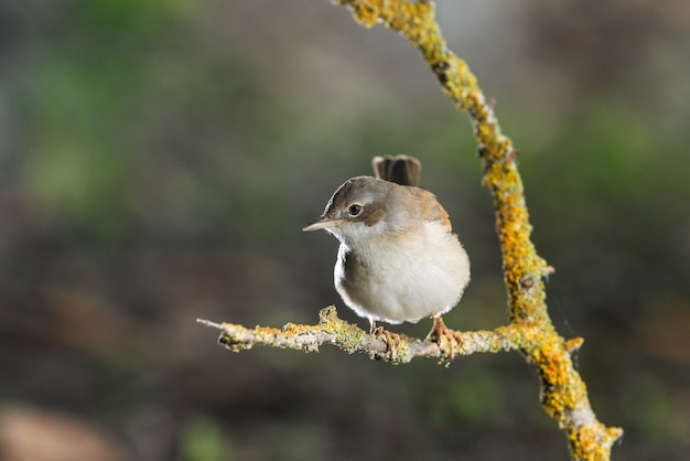 일반적인 whitethroat sylvia communis