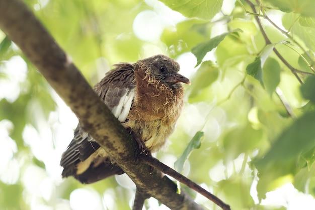 Обыкновенный лесной голубь, птенец на ветке