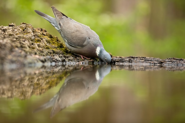 Обыкновенный лесной голубь пьет из воды на берегу реки