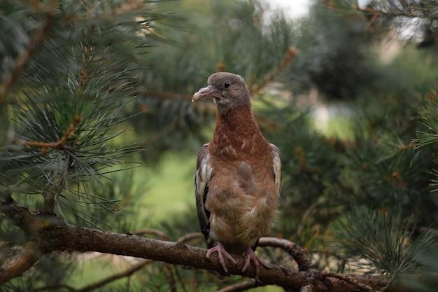 Обыкновенный лесной голубь на сосне