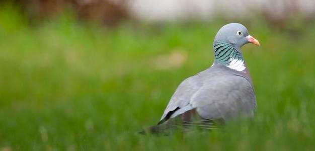 Обыкновенный лесной голубь, сидящий в зеленой траве, выборочный фокус